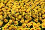 Thumbnail Blossoming tulips