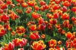 Thumbnail red tulips
