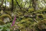 Thumbnail Foxglove (Digitalis purpurea), Glenveagh National Park, County Donegal, Ireland, Europe