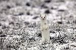 Thumbnail Ermine (Mustela erminea) in its winter coat on a hoarfrost-covered meadow, Allgaeu, Bavaria, Germany, Europe