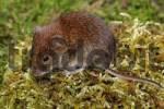 Thumbnail bank vole - mouse - Clethrionomys glareolus Myodes glareolus
