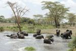 Thumbnail African elephant (Loxodonta africana), herd bathing at a waterhole near Seronera, savannah, Serengeti National Park, Tanzania, East Africa, Africa