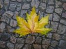 Thumbnail Autumnal plane tree leaf (Platanus) on a wet pavement