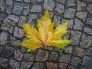 Thumbnail Autumnal plane tree leaf (Platanus) on a wet pavement