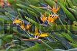 Thumbnail bird of paradise or crane flower Strelitzia reginae botanical garden, Funchal, Madeira, Portugal
