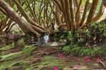 Thumbnail a cat under a rhododendron tree, Parque das Quimeidas, Madeira, Portugal