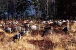 Thumbnail Domestic sheep