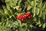 Thumbnail Red berries on branches of Rowan or Mountain-Ash (Sorbus aucuparia), Bavaria, Germany, Europe