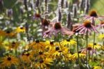 Thumbnail Eastern purple coneflower or Purple coneflower (Echinacea purpurea), medicinal plant, Geretsried, Bavaria, Germany, Europe
