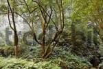 Thumbnail laurel forest Laurisilva Levada do Rei Ribeiro Bonito, Sao Jorge, Madeira, Portugal