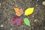 Thumbnail Indian summer, foliage in autumn, four colourful leaves on the ground, orange, yellow, green and red, Crawford Notch, White Mountains, New Hampshire, New England, USA, North America