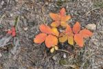 Thumbnail Tree sapling in autumn colours, hiking trail to Eugenia Mine, Rocky Mountain National Park, Colorado, USA