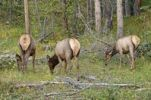 Thumbnail Elk or Wapiti (Cervus canadensis), browsing, Kawuneeche Valley, Trail Ridge Road, Rocky Mountain National Park, Colorado, USA