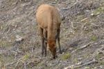 Thumbnail Elk or Wapiti (Cervus canadensis), female, browsing, Kawuneeche Valley, Trail Ridge Road, Rocky Mountain National Park, Colorado, USA