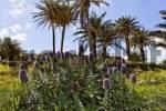Thumbnail Pride of Madeira echium fastuosum on the peninsule Ponta de Sao Lourenco Nature reserve, Madeira, Portugal