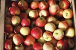 Thumbnail Apples in a crate, Oberschwarzach, Steigerwald, Lower Franconia, Franconia, Bavaria, Germany, Europe