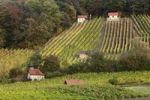 Thumbnail Vineyards on Falkenberg Mountain near Falkenstein, Donnersdorf district, Steigerwald, Lower Franconia, Franconia, Bavaria, Germany, Europe, PublicGround