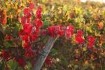 Thumbnail Autumnal grapevines, Wipfelder Zehntgraf vineyard, Wipfeld, Lower Franconia, Franconia, Bavaria, Germany, Europe