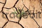 Thumbnail Green plant grows dry and torn open soil drought near Mhamid Morocco