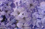 Thumbnail Hyacinth (Hyacinthus) flowers