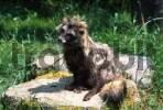 Thumbnail Raccoon dog