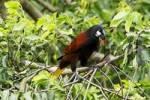 Thumbnail Montezuma Oropendola Psarocolius montezuma, Costa Rica