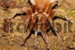 Thumbnail tarantula, Costa Rica