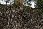 Thumbnail roots of a big tree, Banyan Tree, Ficus benghalensis, Costa Rica