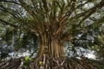 Thumbnail Banyan Tree, Ficus benghalensis, Costa Rica