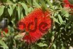Thumbnail Bottlebrush Callistemon citrinus