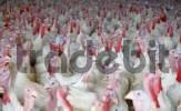 Thumbnail Animal husbandry - turkey Meleagridinae