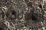 Thumbnail funnel trap of Antlion Myrmeleontidae, Palo Verde, Guanacaste, Costa Rica