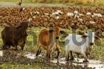 Thumbnail Zebu cattle and Red-billed Whistling Ducks, Nationalpark Palo Verde, Costa Rica