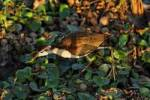 Thumbnail Northern Jacana Jacana spinosa, Costa Rica