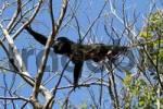 Thumbnail Howler monkey, Mantled Howler Alouatta palliata, Palo Verde, Costa Rica