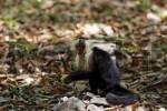 Thumbnail White-headed Capuchin Cebus capucinus, Palo Verde, Costa Rica