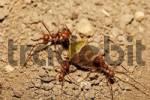 Thumbnail ants, Costa Rica