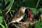 Thumbnail Garden Warbler, Sylvia borin at the nest