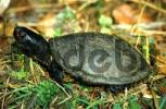 Thumbnail European pond terrapin, Emys orbicularis, male, taking a sun bath