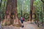 Thumbnail swamp gum in Mt. Field Nationalpark in Tasmania Australia