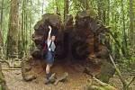 Thumbnail trunk of swamp gum in Mt. Field Nationalpark Tasmania Australia
