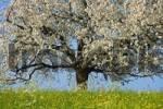 Thumbnail Blossoming cherry tree Prunus avium, Switzerland