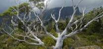 Thumbnail gum trees on Labyrinth in front of Parthenon Mountains on Overland Track in Cradle Mountain Nationalpark Tasmania Australia