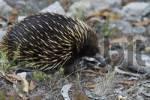 Thumbnail Echidna in Grampian Mountains in Victoria Australia