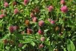 Thumbnail Red clover Trifolium pratense