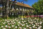 Thumbnail Garden Tulips Tulipa and Chinese wisteria Wisteria sinensis, garden in Aying, Bavaria, Germany