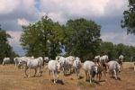 Thumbnail Herd of Lipizzan Equus przewalskii f. caballus, Lipica stud ranch, Slovenia, Europe
