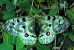 Thumbnail Mountain Apollo Parnassius apollo,