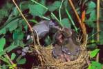 Thumbnail Blackcap Sylvia atricapilla, male feeding chicks