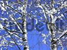 Thumbnail Birch betula in Winter